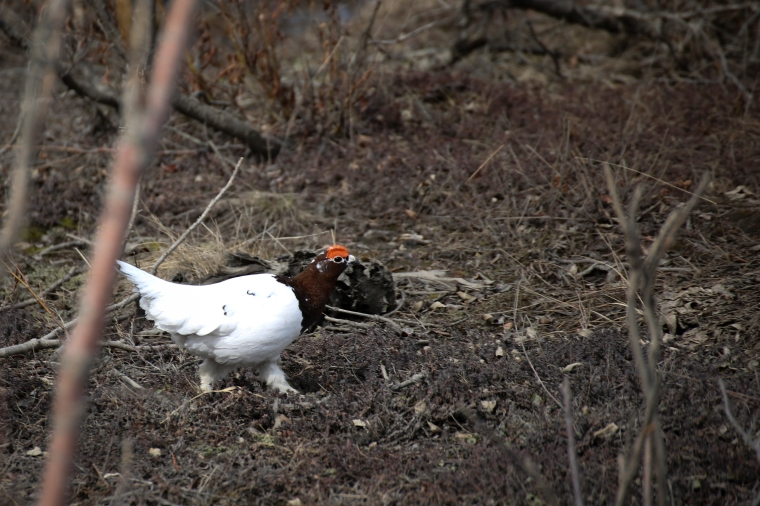 ptarmigan leaca young photography